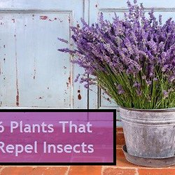 6 Insect Repellent Plants To Grow – repel: mosquitoes, gnats, ticks