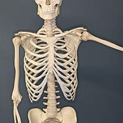 Human skeleton - Wikipedia