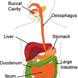 Applied science unit 14 pearltrees digestion digestive system enzymes absorption in the ccuart Images
