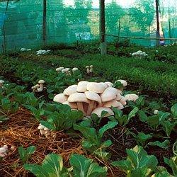 Shroomery - Magic Mushrooms (Shrooms) Demystified | Pearltrees